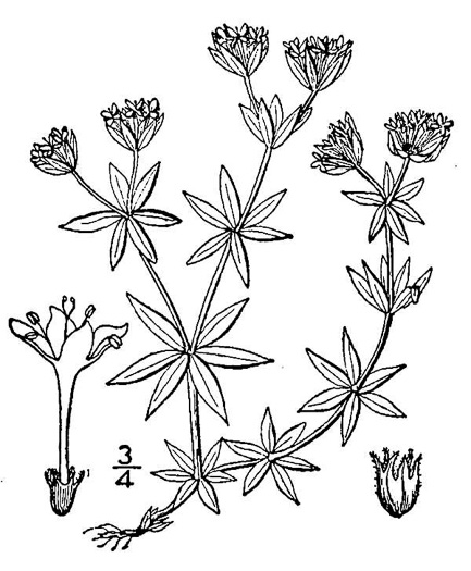 drawing of Galium sherardia, Field Madder, Blue Field Madder