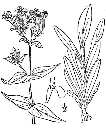 drawing of Atocion armeria, Sweet William Catchfly, Garden Catchfly, None-so-pretty