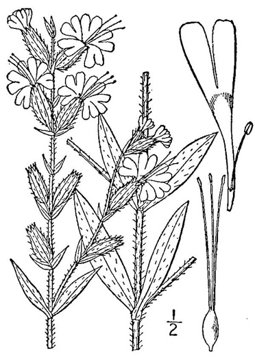 drawing of Silene dichotoma ssp. dichotoma, Forked Catchfly