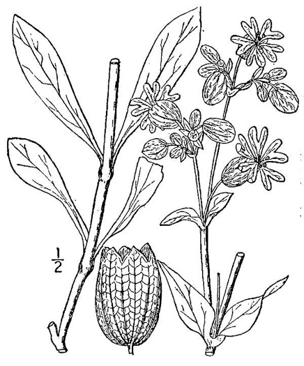 image of Silene vulgaris, Bladder Campion, Maiden's-tears