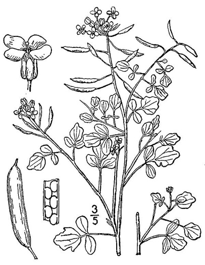 image of Nasturtium officinale, Watercress