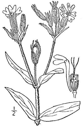 drawing of Silene noctiflora, Night-flowering Catchfly, Sticky Campion, Sticky Cockle