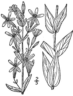 drawing of Silene regia, Royal Catchfly