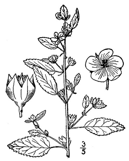 image of Sida spinosa, Prickly Mallow, Prickly Sida, False-mallow