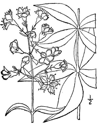 drawing of Silene stellata, Starry Campion, Widow's-frill