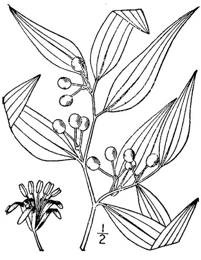 image of Smilax smallii, Jackson-brier, Unarmed Catbrier, Sweet-scented Smilax