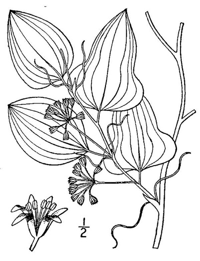 image of Smilax pseudochina, Coastal Carrionflower, Bamboo-vine