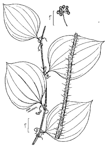 image of Smilax hispida, Bristly Greenbrier, Hellfetter, China-root
