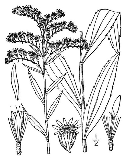 image of Solidago gigantea, Smooth Goldenrod, Late Goldenrod, Giant Goldenrod