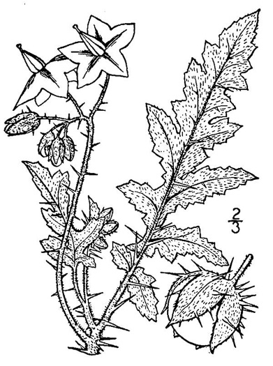 image of Solanum sisymbriifolium, Sticky Nightshade