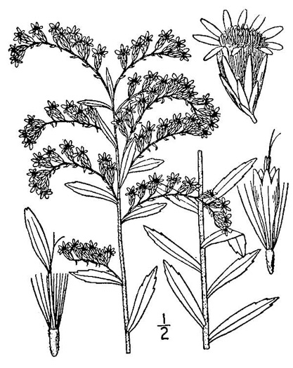 image of Solidago tortifolia, Leafy Pinelands Goldenrod, Leafy Pineywoods Goldenrod, twistleaf goldenrod