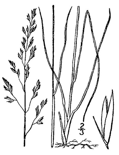 image of Sporobolus heterolepis, Prairie Dropseed