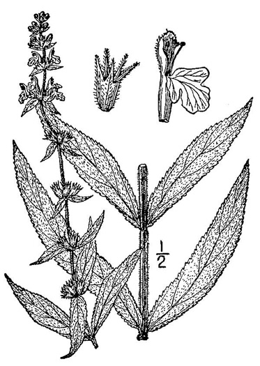 image of Stachys arenicola, Woundwort
