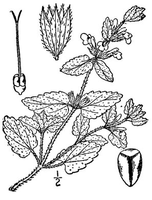 image of Stachys arvensis, Staggerweed