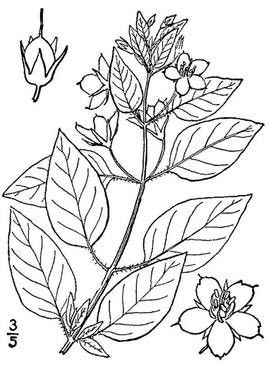 drawing of Steironema ciliatum, Fringed Loosestrife