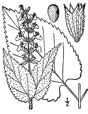 image of Stachys cordata, Heart-leaved Hedgenettle