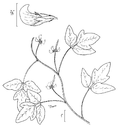 image of Strophostyles helvola, Annual Sand Bean, Beach Pea, Trailing Wild Bean