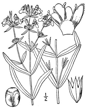image of Stachys hyssopifolia var. lythroides, hyssop-leaved hedgenettle