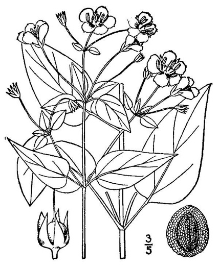 drawing of Steironema tonsum, Southern Loosestrife, Appalachian Loosestrife