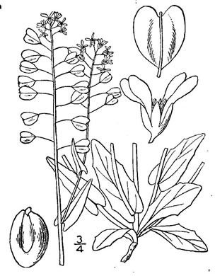 drawing of Noccaea perfoliata, Perfoliate Pennycress, Thoroughwort Pennycress