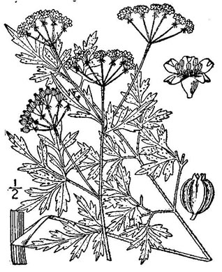 drawing of Thaspium pinnatifidum, Cutleaf Meadow-parsnip