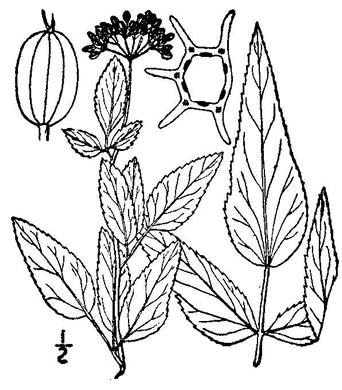 drawing of Thaspium trifoliatum var. trifoliatum, Purple Meadow-parsnip, Woodland Parsnip