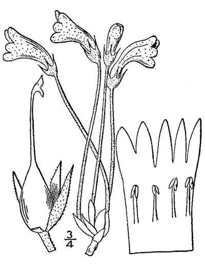 image of Aphyllon uniflorum, One-flowered Cancer-root, One-flowered Broomrape