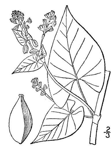 image of Fallopia scandens, Common Climbing Buckwheat