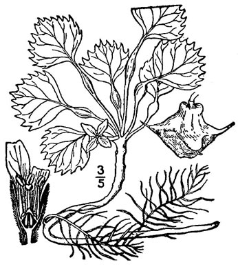 drawing of Trapa natans, European Water Chestnut, Water Caltrop
