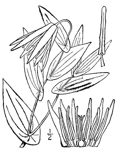 image of Uvularia grandiflora, Large-flowered Bellwort