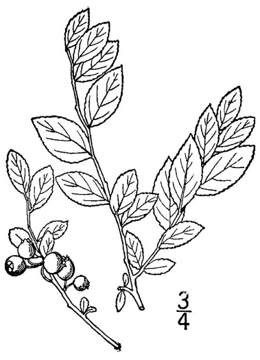 image of Vaccinium elliottii, Mayberry, Elliott's Blueberry
