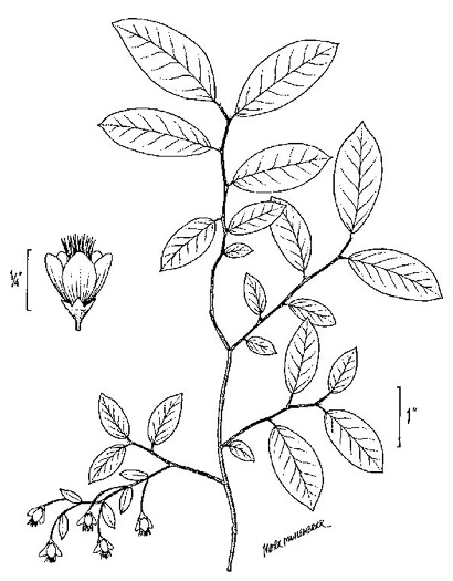 image of Vaccinium stamineum var. caesium, Florida Deerberry, Whiteleaf Deerberry