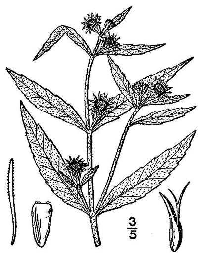 image of Eclipta prostrata, Yerba-de-tajo, false daisy