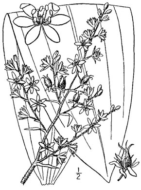 image of Melanthium woodii, Ozark Bunchflower, Wood's False-hellebore