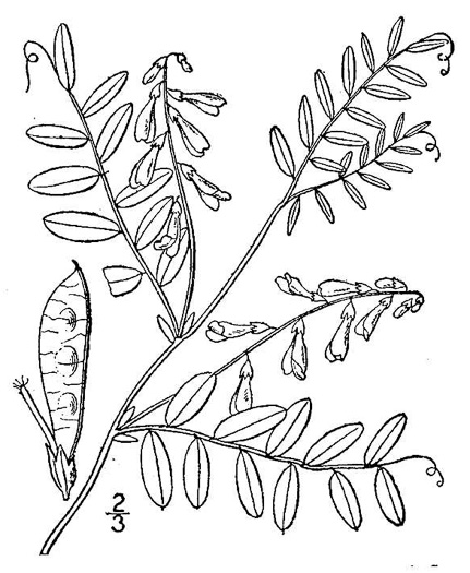 image of Vicia caroliniana, Carolina Vetch, Wood Vetch, Pale Vetch