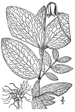 image of Clematis fremontii, Fremont's Leatherflower