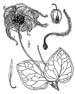 image of Clematis glaucophylla, White-leaved Leatherflower