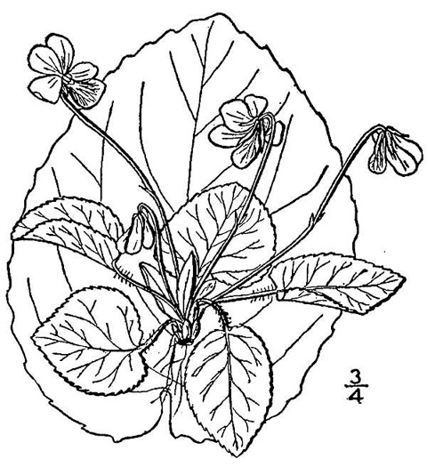 image of Viola rotundifolia, Round-leaf Yellow Violet, Early Yellow Violet