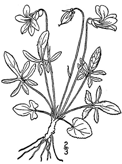 image of Viola septemloba, Cleft-leaved Violet