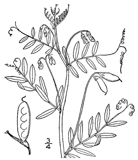 image of Vicia tetrasperma