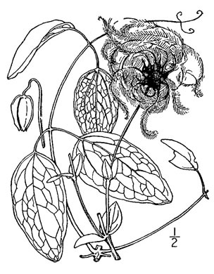 image of Clematis versicolor, Pale Leatherflower