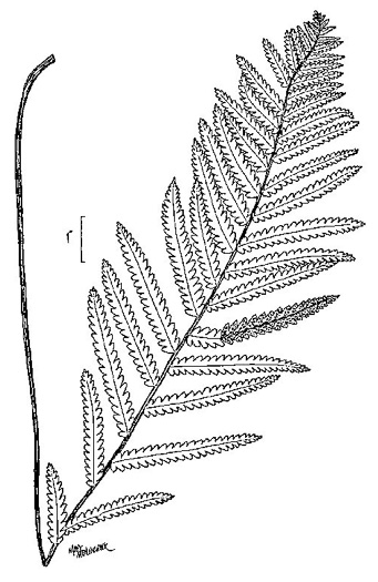 image of Anchistea virginica