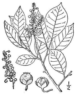 drawing of Lyonia ligustrina var. ligustrina, Northern Maleberry, He-huckleberry