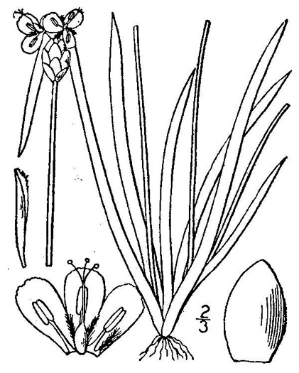 image of Xyris caroliniana, Pineland Yellow-eyed Grass, Carolina Yellow-eyed Grass