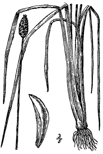 image of Xyris jupicai, Yellow-eyed Grass