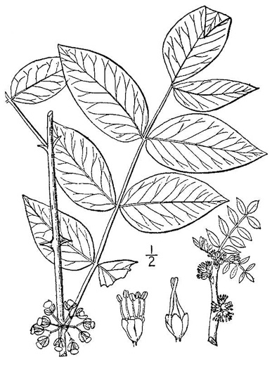 image of Zanthoxylum americanum, Prickly-ash, Toothache Tree, Northern Prickly-ash