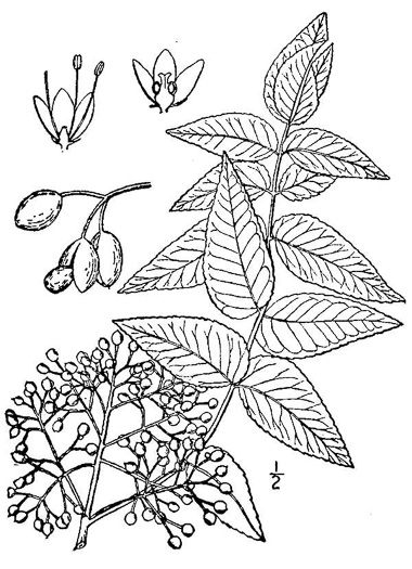 image of Zanthoxylum clava-herculis, Toothache Tree, Hercules-club, Sea-ash, Southern Prickly-ash