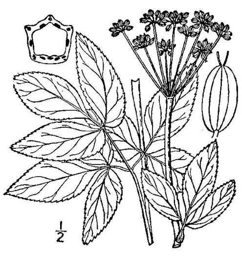 drawing of Zizia aurea, Common Golden Alexanders