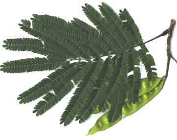 bipinnately or tripinnately compound leaves of trees: Albizia julibrissin, Albizia julibrissin, Albizia julibrissin