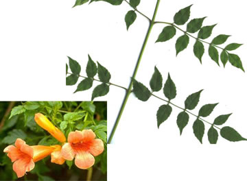 image of Campsis radicans, Trumpet-creeper, Trumpet Vine, Cow-Itch Vine